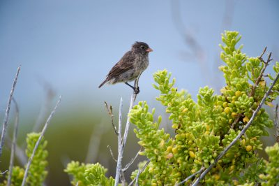 Photo: A small ground finch, Geospiza fuliginosa, on Santa Cruz Island in Galapagos National Park.