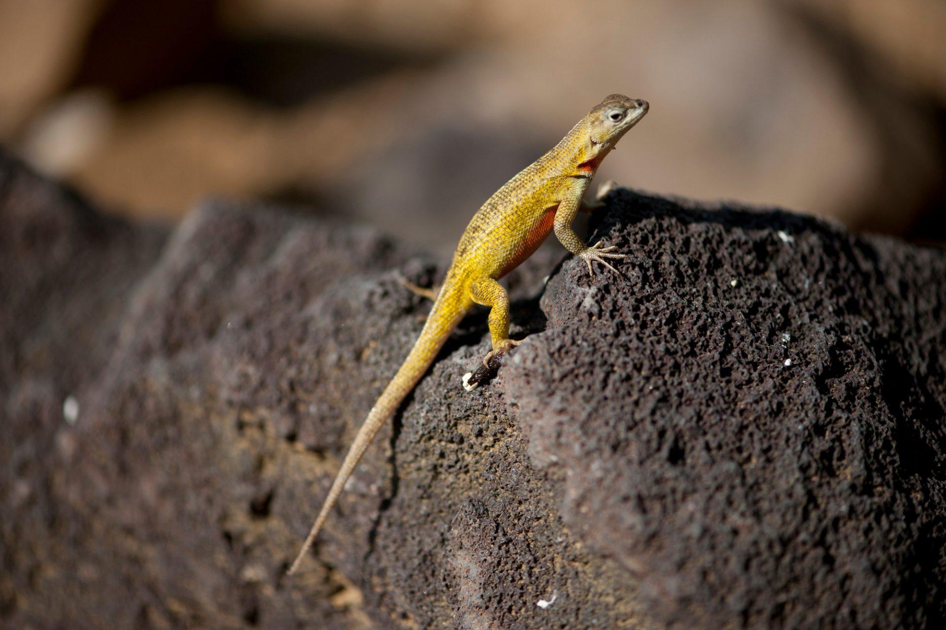 Photo: A female San Cristobal lava lizard, Microlophus bivittatus, on San Cristobal Island in the Galapagos.