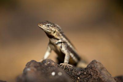 Photo: A male San Cristobal lava lizard, Microlophus bivittatus, on San Cristobal Island in the Galapagos.