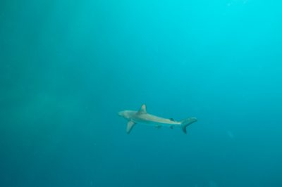 Photo: A Galapagos shark, Carcharhinus galapagensis, near Kicker Rock on the edge of San Cristobal Island in Galapagos National Park.
