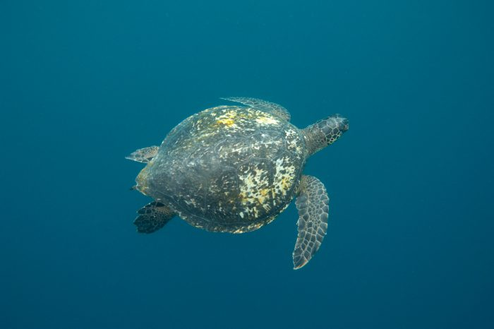 An endangered (IUCN and US) green sea turtle, Chelonia mydas, near Kicker Rock on the edge of San Cristobal Island in Galapagos National Park.