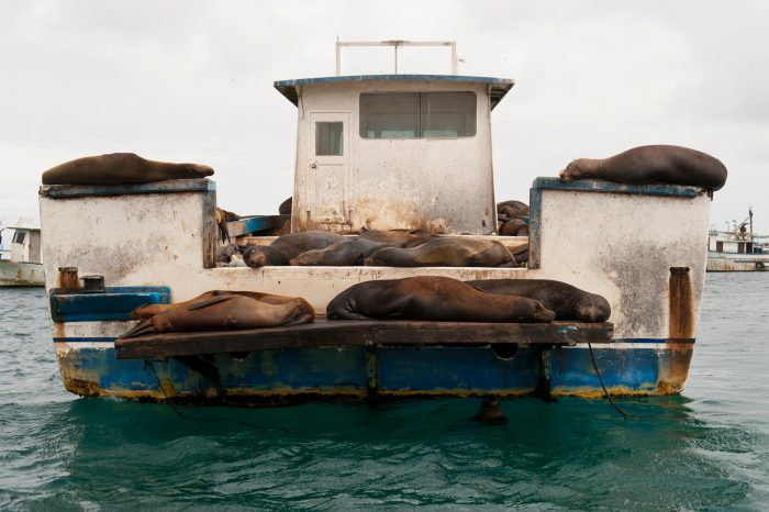 Photo: Galapagos sea lions, Zalophus wollebaeki, sleep on a fishing boat near San Cristobal Island in the Galapagos.