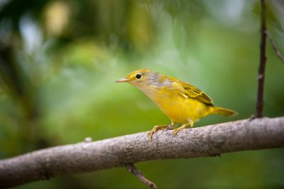Photo: A yellow warbler, Dendroica petechia, on San Cristobal Island in the Galapagos.