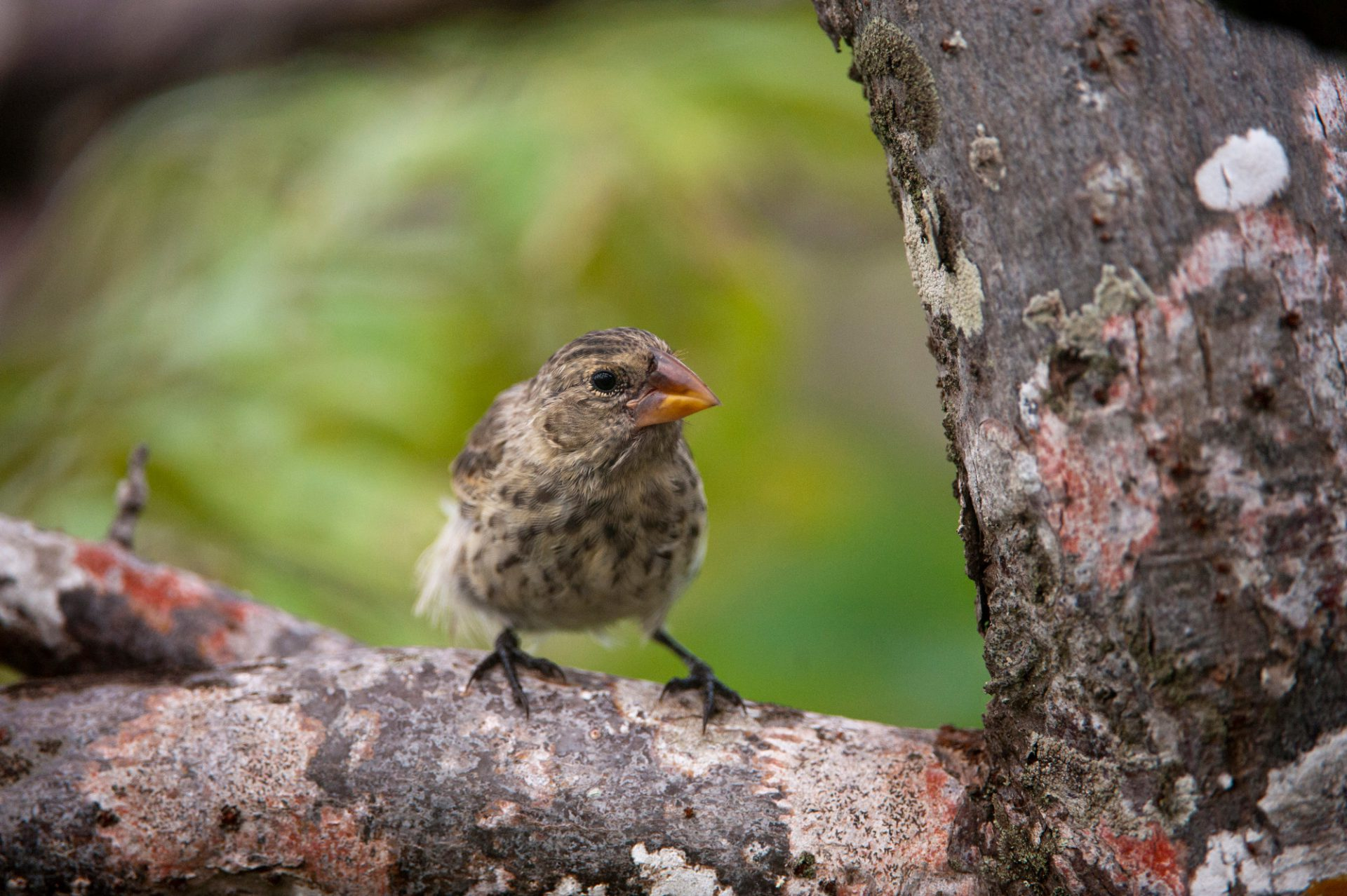 Photo: A medium ground finch, Geospiza fortis, on San Cristobal Island in the Galapagos.