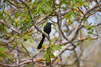 Photo: A smooth-billed ani, Crotophaga ani, on San Cristobal Island in the Galapagos.