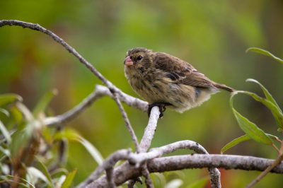 Photo: A small tree finch, Camarhynchus parvulus, on San Cristobal Island in the Galapagos.