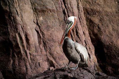 A brown pelican, Pelecanus occidentalis, on San Cristobal Island in the Galapagos.
