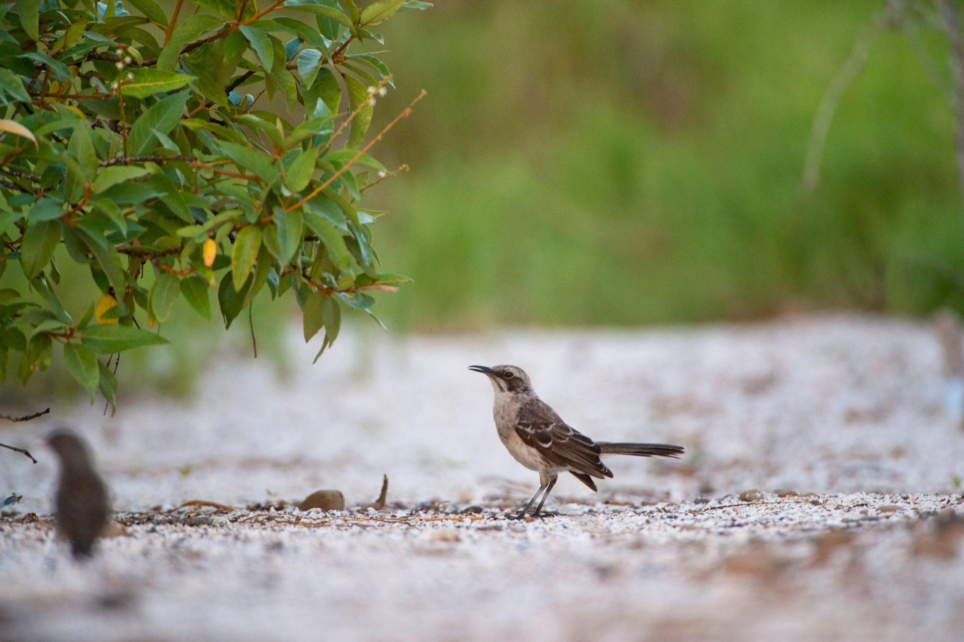 Photo: A San Cristobal mockingbird or Chatham mockingbird (Mimus melanotis) on San Cristobal Island (formerly known as Chatham Island).