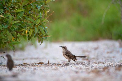 Photo: A San Cristobal mockingbird or Chatham mockingbird (Mimus melanotis) on San Cristobal Island (formerly known as Chatham Island).