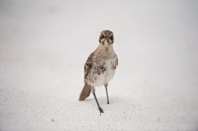 Photo: The hood mockingbird, also known as the Espanola mockingbird, (Mimus macdonaldi) is a very rare bird species that's found only on Espanola Island in Galapagos National Park.