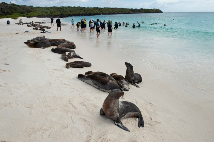 Photo: Tourist walk among the Galapagos sea lions (Zalophus wollebaeki) on Espanola Island in Galapagos National Park.