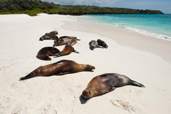 Photo: Endangered Galapagos sea lions, Zalophus wollebaeki, on the beach at Espanola Island in Galapagos National Park.