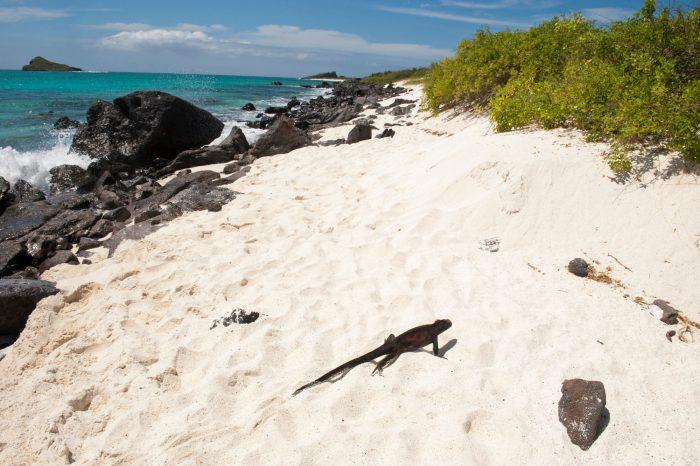 Photo: An Espanola marine iguanas, Amblyrhynchus cristatus venustissimus, in Galapagos National Park.