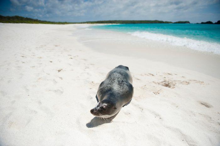 Photo: A man photographs an endangered Galapagos sea lion, Zalophus wollebaeki, on the beach at Espanola Island in Galapagos National Park.