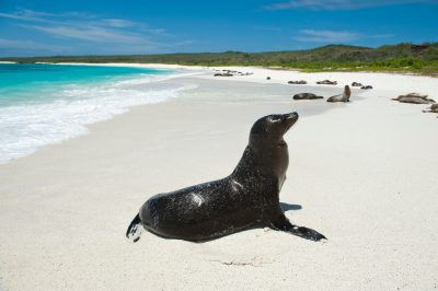 Photo: Endangered Galapagos sea lions, Zalophus wollebaeki, on the beach at Espanola Island in Galapagos National Park.
