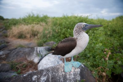 Photo: A blue-footed booby, Sula nebouxii, on Espanola Island in Galapagos National Park.