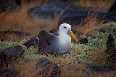 Photo: A critically endangered waved albatross, Phoebastria irrorata, on Espanola Island in the Galapagos.