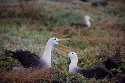 Photo: Critically endangered waved albatross, Phoebastria irrorata, on Espanola Island in the Galapagos.