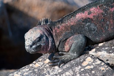 Photo: An Espanola marine iguana, Amblyrhynchus cristatus venustissimus, in Galapagos National Park.
