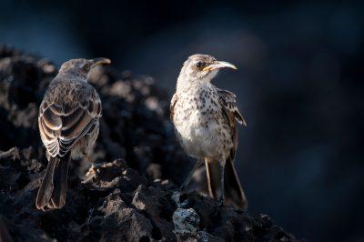 Photo: Espanola mockingbirds, Mimus macdonaldi, a very rare bird species found only on Espanola Island in the Galapagos.