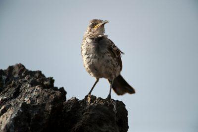 Photo: An Espanola mockingbird, Mimus macdonaldi, a very rare bird species found only on Espanola Island in the Galapagos.