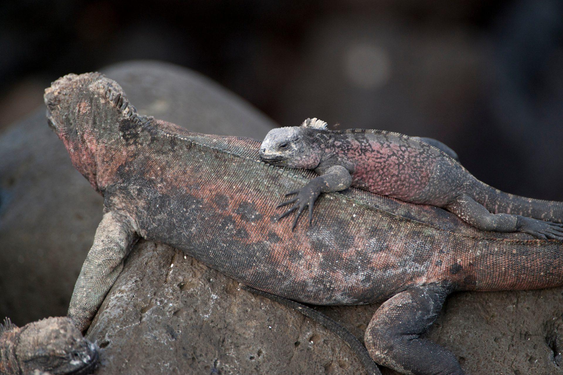 Photo: Espanola marine iguanas, Amblyrhynchus cristatus venustissimus, in Galapagos National Park.