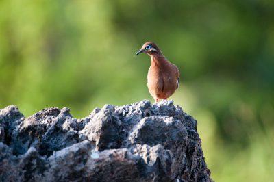 Photo: A Galapagos quail on Espanola Island in the Galapagos.