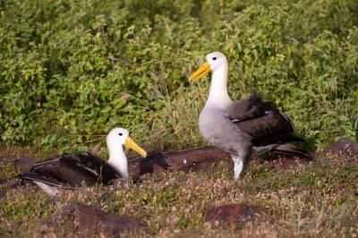 Photo: Critically endangered waved albatross, Phoebastria irrorata, on Espanola Island in the Galapagos.