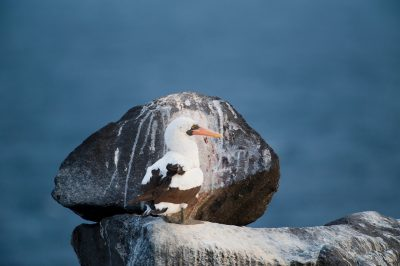 Photo: A Nazca booby, Sula granti, on Espanola Island in Galapagos National Park.