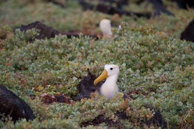 Photo: A critically endangered waved albatross, Phoebastria irrorata, on Espanola Island in the Galapagos.