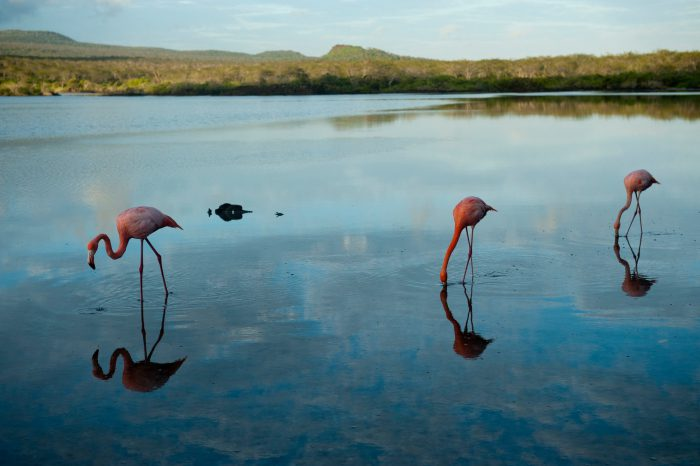 Picture of American flamingos, Phoenicopterus ruber, on Floreana Island in Galapagos National Park.