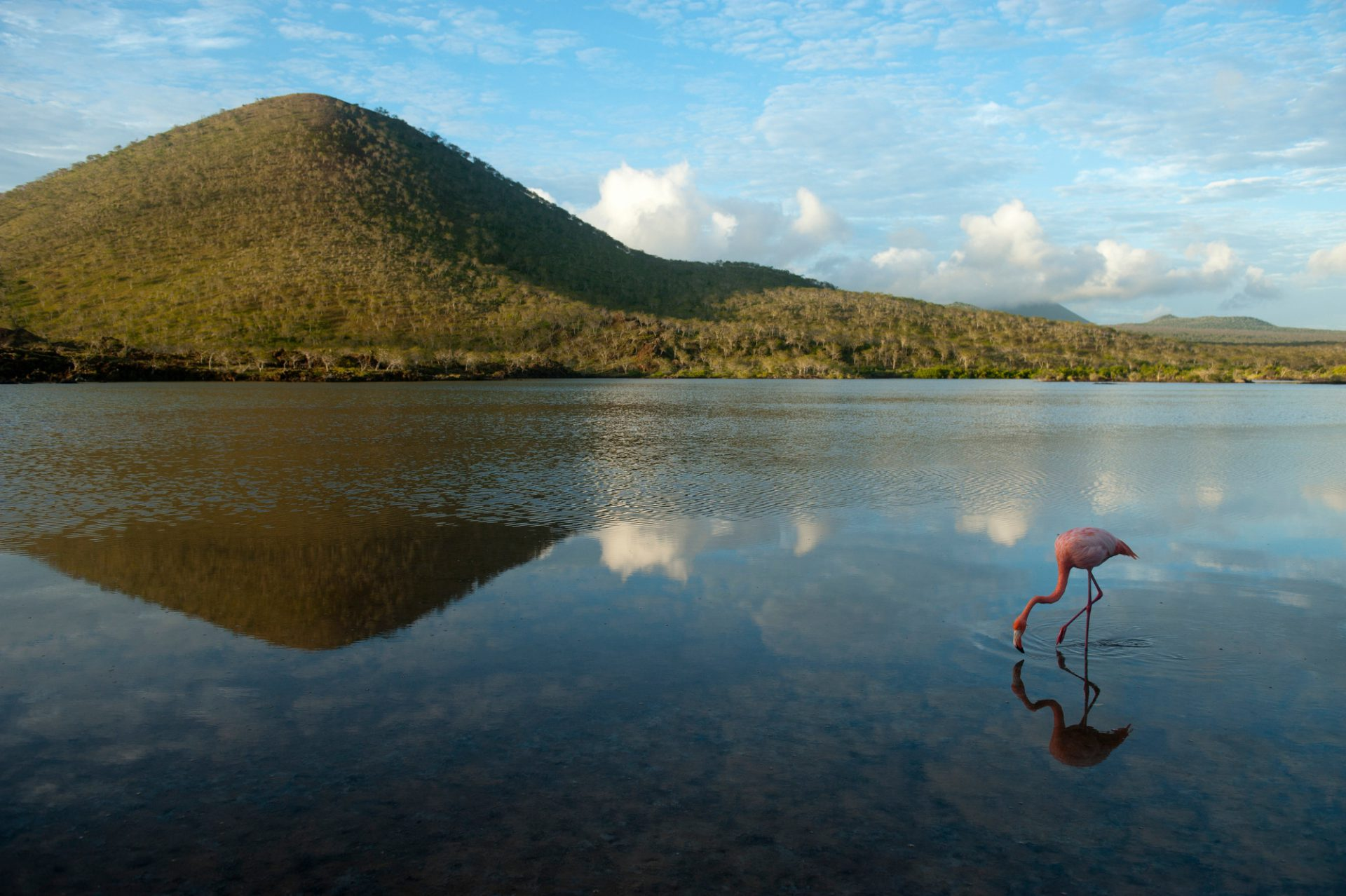 Picture of an American flamingo, Phoenicopterus ruber, on Floreana Island in Galapagos National Park.