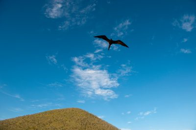 Photo: A great frigatebird, Fregata minor, flies over Galapagos National Park.