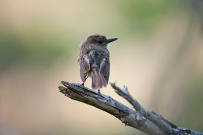Photo: A Galapagos flycatcher, Myiarchus magnirostris, on Floreana Island in Galapagos National Park.