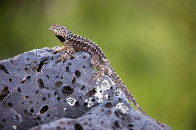 Photo: A Floreana lava lizard on Floreana Island in Galapagos National Park.