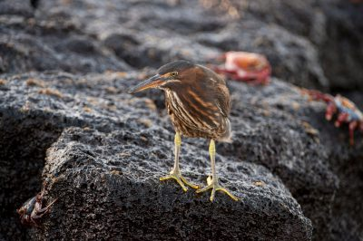 Photo: A striated heron, Butorides striata, on Floreana Island in Galapagos National Park.