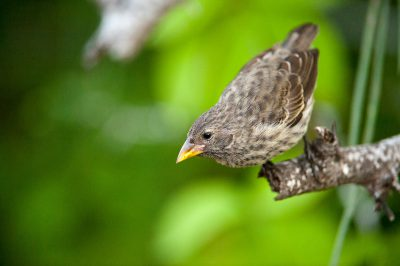 Photo: A female cactus finch, Geospiza scandens, on Floreana Island in Galapagos National Park.