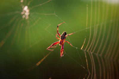 Photo: A zig zag spider, Neoscona cooksoni, on Floreana Island in Galapagos National Park.