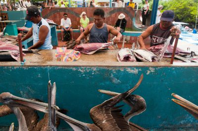 Photo: Pelicans wait for handouts at a fish market in Puerto Ayora in Galapagos, Ecuador.