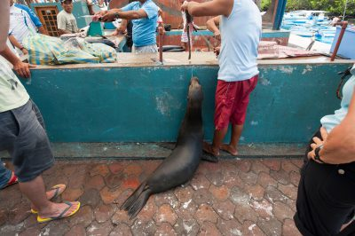 Photo: An endangered Galapagos sea lion, Zalophus wollebaeki, waits for a handout at a fish market in Puerto Ayora in Galapagos, Ecuador.