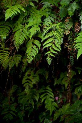 Photo: Ferns on Santa Cruz Island in Galapagos, Ecuador.