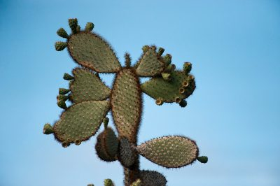 Photo: A prickly pear cactus tree on Santa Cruz Island in the Galapagos.