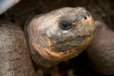 A Galapagos tortoise, Chelonoidis vicina, at the Charles Darwin Research Station on Santa Cruz Island in the Galapagos.