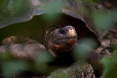 A Galapagos tortoise, Chelonoidis vicina, at the Charles Darwin Research Station on Santa Cruz Island in the Galapagos.