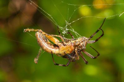 Photo: A zig zag spider, Neoscona cooksoni, with it's prey, a juvenile painted locust, Schistocerca melanocera.