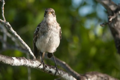 Photo: A Galapagos mockingbird, Mimus parvulus, on Santa Cruz Island in Galapagos National Park.