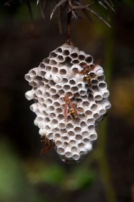 Photo: Paper wasp, an introduced/non-native species on Santa Cruz Island in Galapagos National Park.