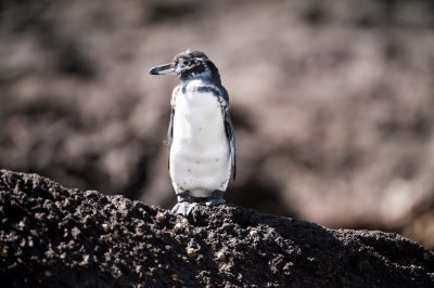 Photo: An endangered Galapagos Penguin, Spheniscus mendiculus, in Galapagos National Park.