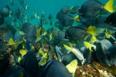 Photo: Razor sturgeonfish, Prionurus laticlavius, in the Galapagos.