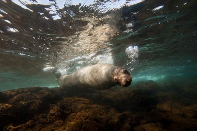 Photo: An endangered Galapagos sea lion, Zalophus wollebaeki, near Bartholomew Island in the Galapagos.
